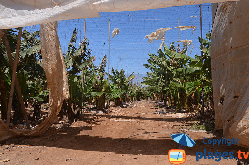 Bananiers à Gran Canaria