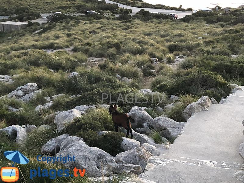 Chèvre en liberté à Majorque