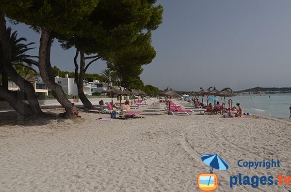Vieux pins sur la plage d'Alcudia au nord de l'ile de Majorque
