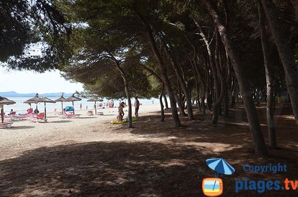 Pinède le long de la plage d'Alcudia