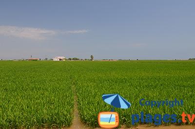 Rizière dans le delta de l'Ebre en Espagne