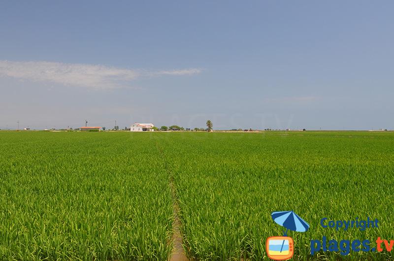 Rizières dans le delta d'Ebre en Espagne