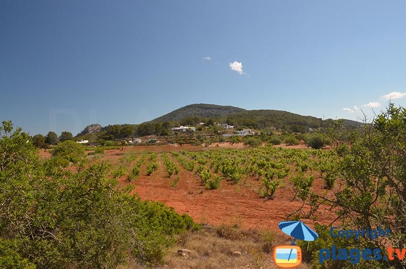 Vineyards in Ibiza